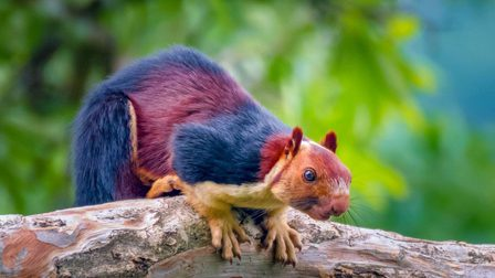 Multicoloured-squirrel1_thumb_main